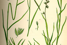 Plant-Illustrations-of-Bermuda-Grass