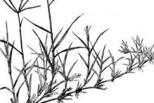Sketch-of-Bermuda-Grass