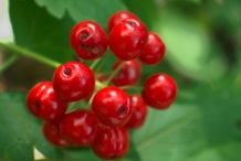 Red-Baneberry