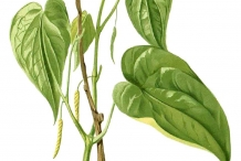 Plant-illustration-of-Betel