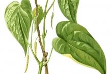 Plant-illustration-of-Betel
