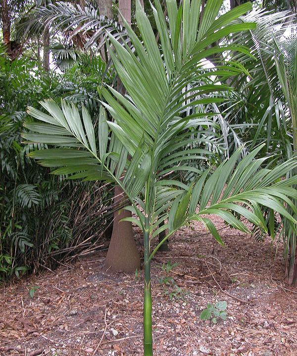 Betel-nut-leaves-Poc