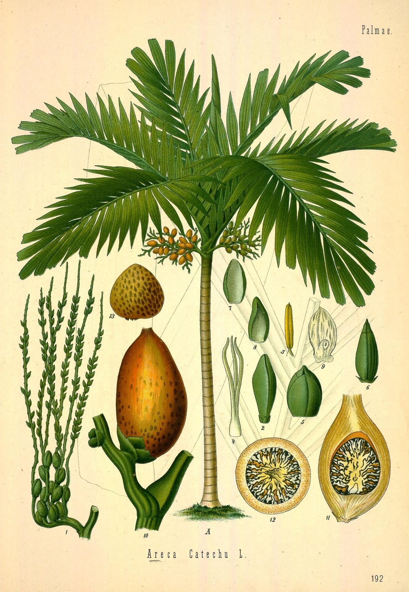 Betel-nuts-illustration-Kasu