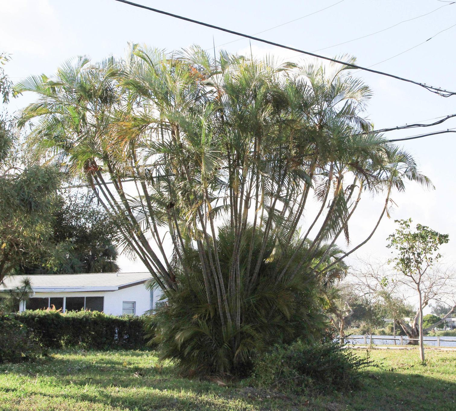 Betel-nuts-tree-Ota