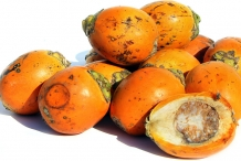 Betel-nuts-fruit-orange-Bu