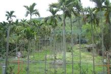 Betel-nuts-farm-Poc
