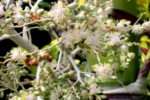 Betel-nuts-flower-Bua