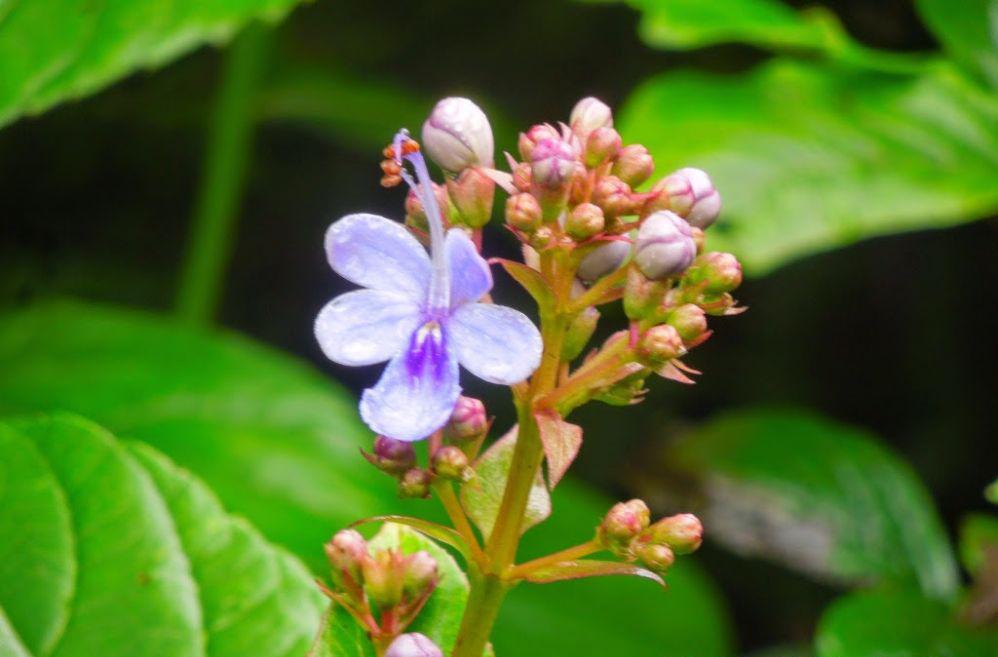 Clerodendrum-serratum-flower-buds