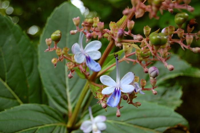 Clerodendrum-serratum-flowers