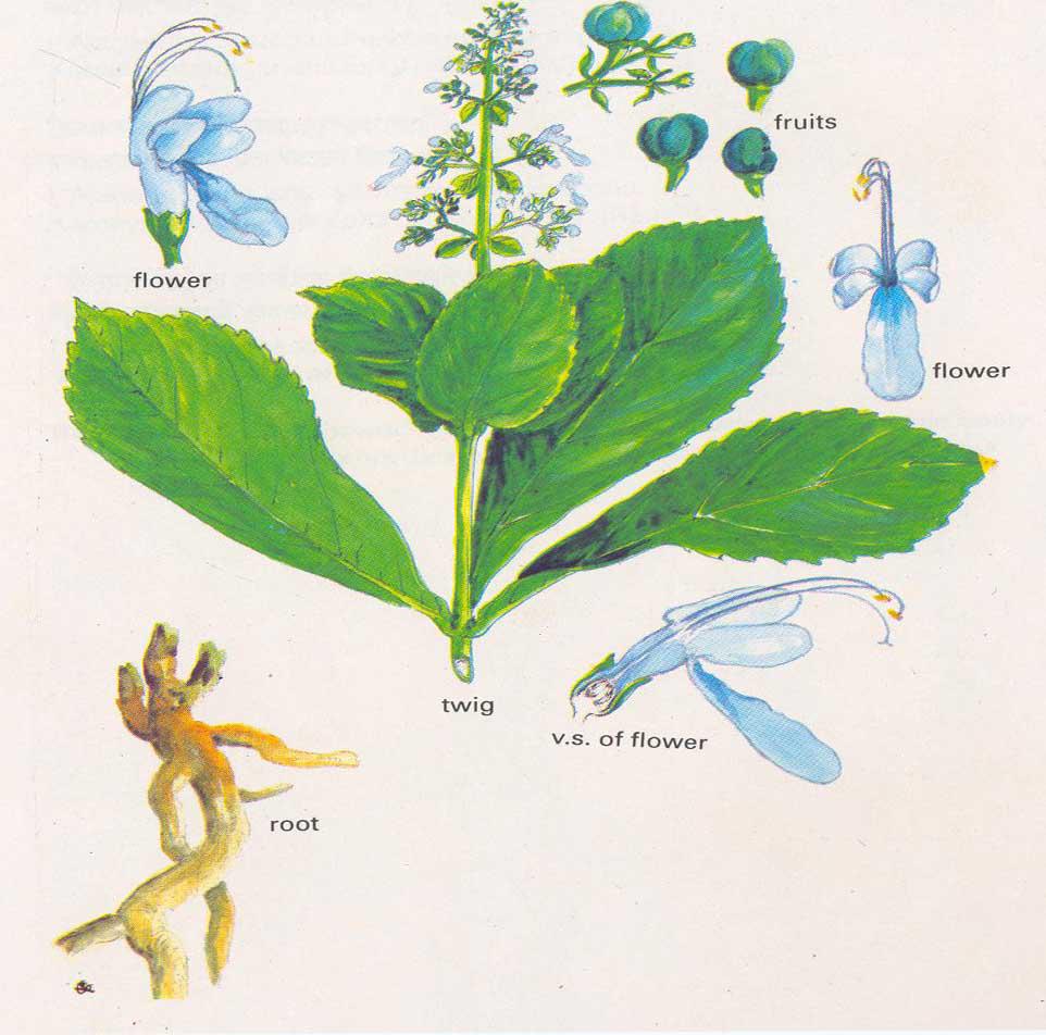 Illustration-of-Clerodendrum-serratum