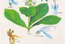 Illustration-of-Clerodendrum-serratum