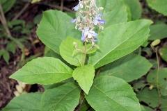 Leaves-of-Clerodendrum-serratum