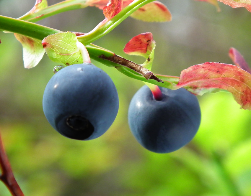 Close-up-view-of-Bilberry