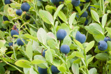 Bilberry-bushes