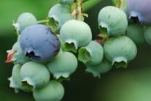 Unripe-Bilberry
