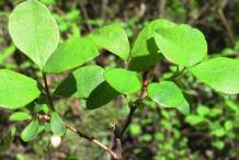 Bilberry-Leaf