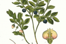 Bilberry-plant-Illustration