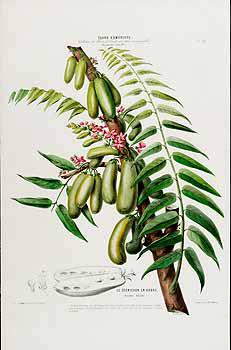 Plant-Illustration-of-Bilimbi