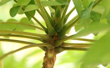 Swollen-petioles-of-Bilimbi-plant