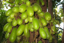 Bilimbi-Fruits-on-the-tree
