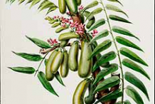 Plant-Illustration-of-Bilimbi