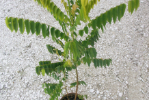 Small-plant-of-Bilimbi
