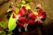 Bilimbi-Flower