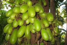 Bilimbi-Fruits-on-the-tree