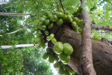 Bilimbi-Plant