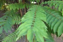 Leaves-of-Bilimbi-plant