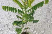 Small-plant-of-Bilimbi