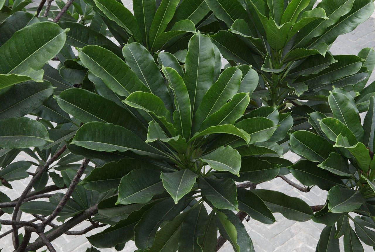 Leaves-of-Bintaro