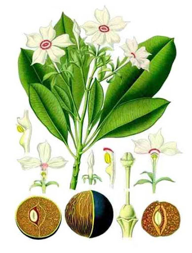 Plant-Illustration-of-Bintaro