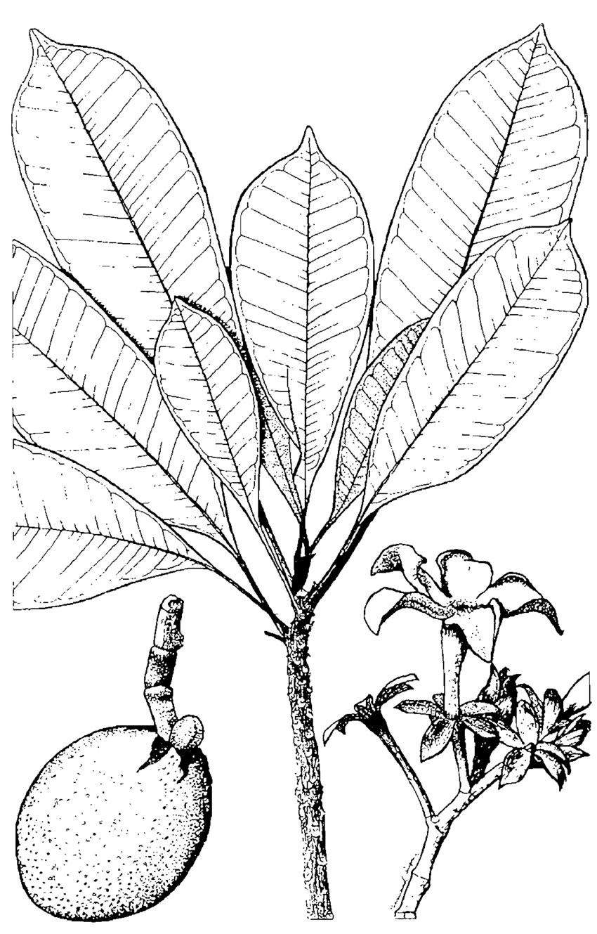 Sketch-of-Bintaro