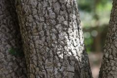Bark-of-Bintaro