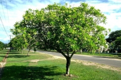Bintaro-tree