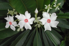 Flowers-of-Bintaro