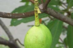 Immature-fruit-of-Bintaro