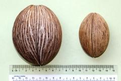 Seeds-of-Bintaro