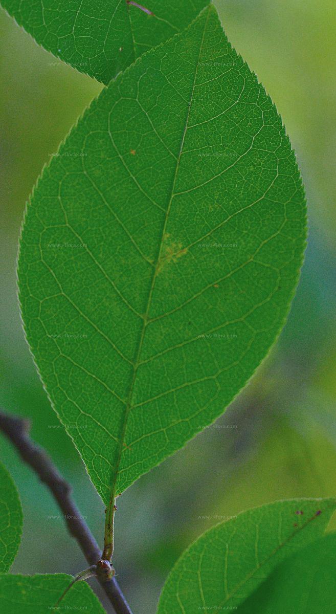 Closer-view-of-Leaf-of-Bird-cherry