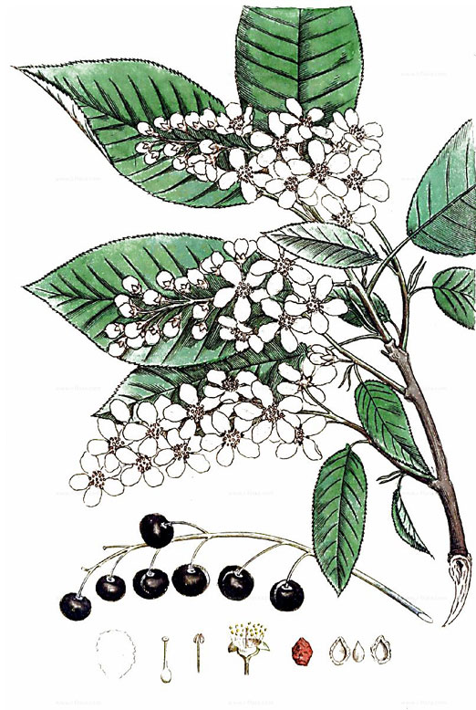 Plant-Illustration-of-Bird-cherry