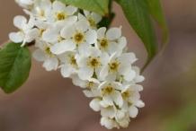 Closer-view-of-flowers-of-Bird-cherry