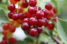 Immature-fruits-of-Bird-cherry