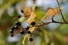 Mature-Bird-cherry-on-the-plant