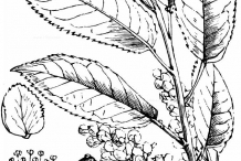 Sketch-of-Bird-cherry