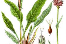 Bistort-Plant-Illustration