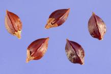 Seeds-of-Bistort-plant