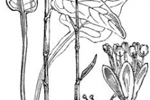 Sketch-of-Bistort-plant