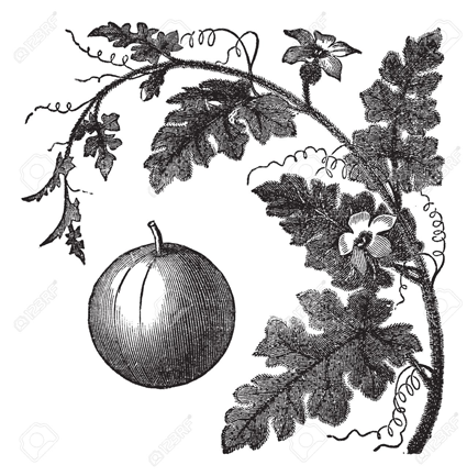 Sketch-of-Bitter-Apple-plant
