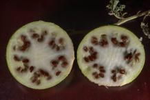 Half-cut-Bitter-Apple